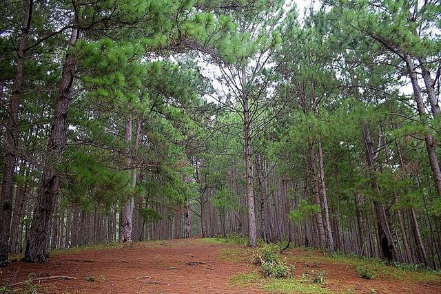 rừng thông trên đường leo núi