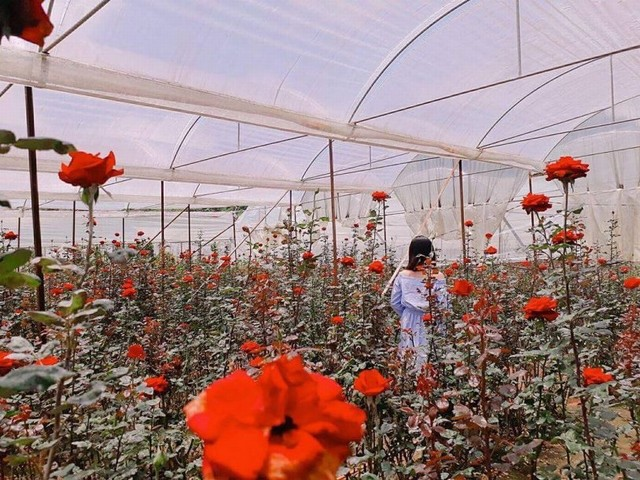 vườn hoa hồng ở làng hoa Vạn Thành