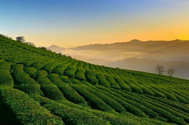 Cau Dat Tea Plantation