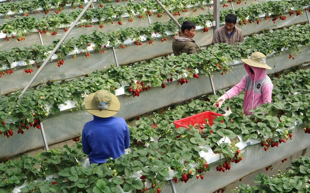 High-Tech Strawberry Farm
