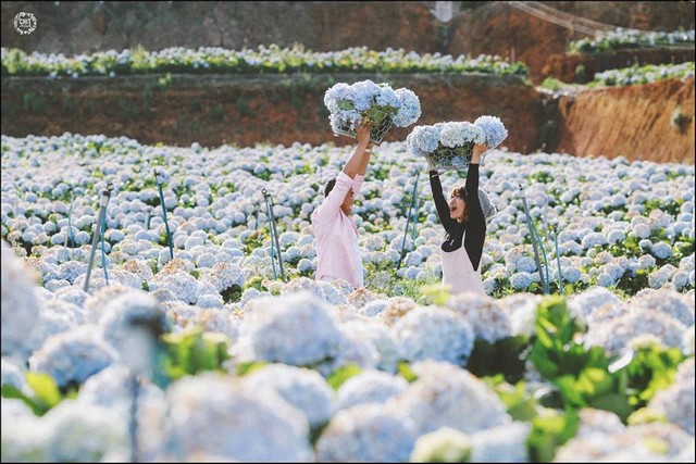 Hydrangea flower plantation