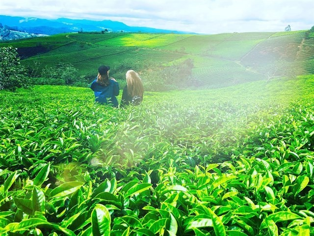 Tea Plantation Dalat