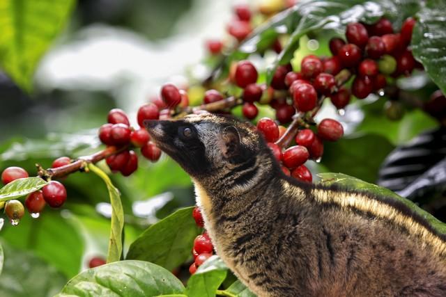 Weasel Coffee Dalat
