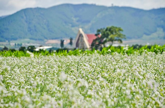 field of white mustard flowers
